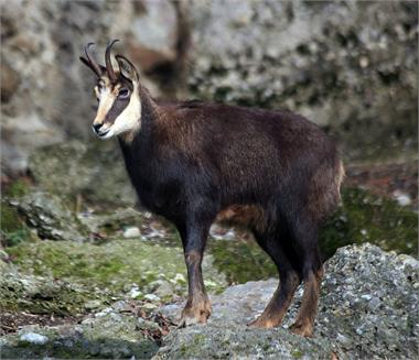 Chamois stalk in the Tyrol mountains